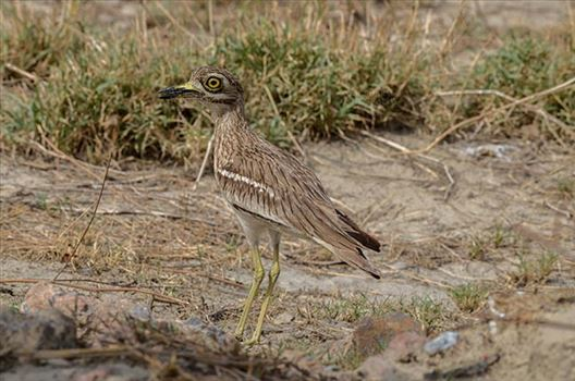 Birds- Eurasian Stone Curlew (Burhinus oedicnemus) - Eurasian stone curlew or stone-curlew (Burhinus oedicnemus) at Noida, Uttar Pradesh, India- June 19, 2017: A Female Eurasian stone guarding her nest In a field at Noida, Uttar Pradesh, India.