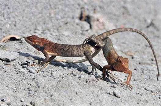 Reptiles- Oriental Garden Lizard - Noida, Uttar Pradesh, India- May 15, 2014: Oriental Garden Lizard or Eastern Garden Lizard (Calotes versicolor) mating in a garden at Noida, Uttar Pradesh, India.