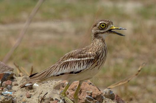 Birds- Eurasian Stone Curlew (Burhinus oedicnemus) - Eurasian stone curlew or stone-curlew (Burhinus oedicnemus) at Noida, Uttar Pradesh, India- June 18, 2017: Alert Female Eurasian stone guarding her nest at Noida, Uttar Pradesh, India.