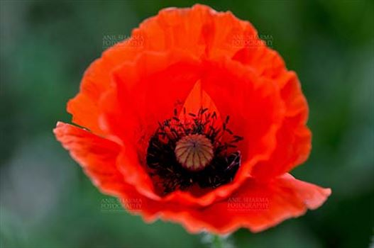 Flowers- Poppy Flowers (Papaver oideae) by Anil