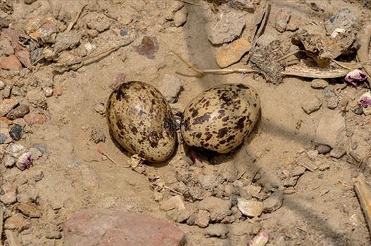 Birds- Eurasian Stone Curlew (Burhinus oedicnemus) - Eurasian stone curlew or stone-curlew (Burhinus oedicnemus) at Noida, Uttar Pradesh, India- June 18, 2017: Eurasian stone\u0027s two Eggs in her nest at Noida, Uttar Pradesh, India.