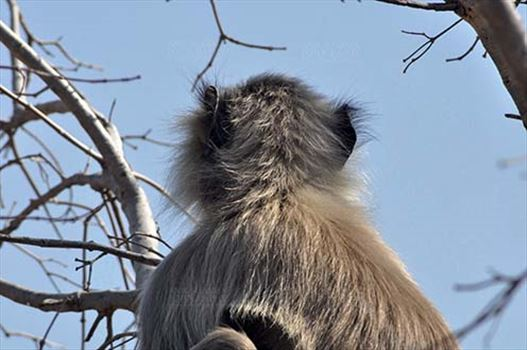 Wildlife- Gray or Common Indian Langur (India) - Back pose of a lonely male black footed Gray Langur (Semnopithecus hypoleucos) sitting on a tree branch at Bhopal, Madhya Pradesh, India.