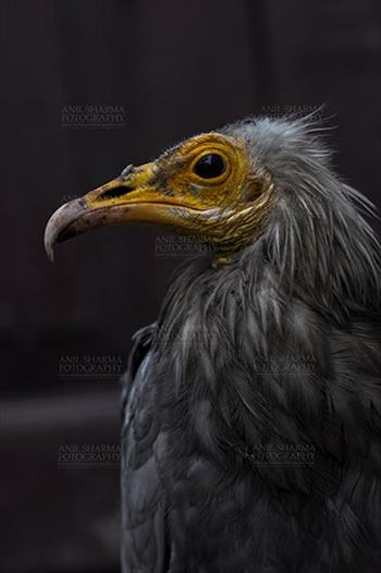 Birds- Egyptian Vulture (Neophron percnopterus) - Egyptian vulture, Aligarh, Uttar Pradesh, India- January 21, 2017:  Side pose of an adult Egyptian Vulture with dark background at Aligarh, Uttar Pradesh, India.