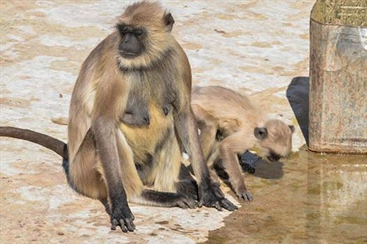 Fairs- Pushkar Fair (Rajasthan) - Pushkar, Rajasthan, India- January 16, 2018: Baby Grey Langur (Semnopithecus entellus) with Mom drinking water at Holy Pushkar Sarover, Rajasthan, India.
