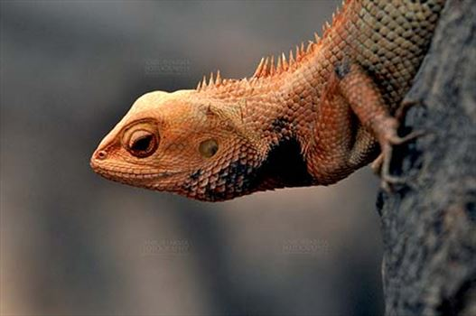 Reptiles- Oriental Garden Lizard - Noida, Uttar Pradesh, India- May 25, 2015: A Oriental Garden Lizard, Eastern Garden Lizard or (Calotes versicolor) in breeding color with black spots, Noida, Uttar Pradesh, India.