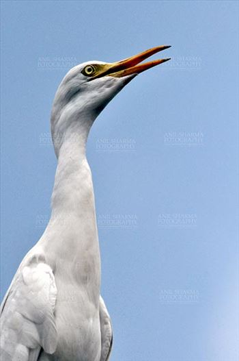 Birds- Cattle Egret (Bubulcus ibis) by Anil
