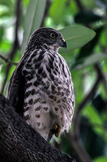 Birds- Shikra Accipiter badius (Gmelin) by Anil Sharma Fotography