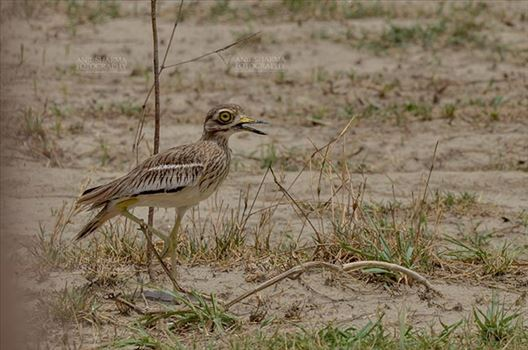 Birds- Eurasian Stone Curlew (Burhinus oedicnemus) - Eurasian stone curlew or stone-curlew (Burhinus oedicnemus) at Noida, Uttar Pradesh, India- June 18, 2017: A Female Eurasian stone standing on one leg guarding her nest at Noida, Uttar Pradesh, India.