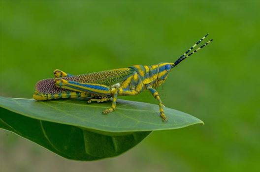 Insects- Indian Painted Grasshopper by Anil Sharma Fotography