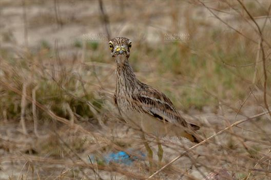 Birds- Eurasian Stone Curlew (Burhinus oedicnemus) - Eurasian stone curlew or stone-curlew (Burhinus oedicnemus) at Noida, Uttar Pradesh, India- June 18, 2017: Alert Female Eurasian stone in the dry grass land keeping an eye on the enemy at Noida, Uttar Pradesh, India.