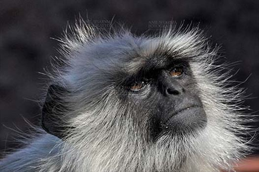 Wildlife- Gray or Common Indian Langur (India) - Close-up of an old black footed Gray or common female Langur (Semnopithecus hypoleucos) in her own world at Bhopal, Madhya Pradesh, India.
