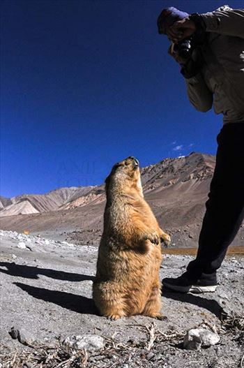 Wildlife- The Himalayan Marmots, J & K (India) by Anil Sharma Fotography