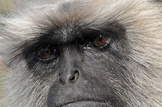 Wildlife- Gray or Common Indian Langur (India) - Close-up of a black footed Gray Langur(Semnopithecus hypoleucos) talking to his own conscious at Bhopal, Madhya Pradesh, India.