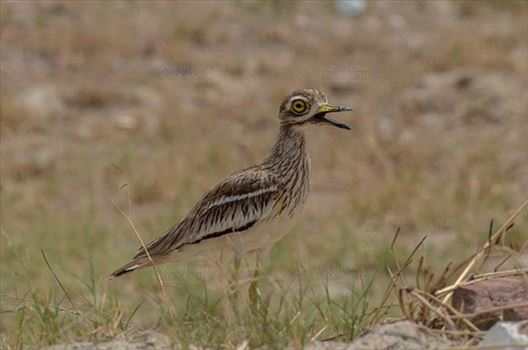 Birds- Eurasian Stone Curlew (Burhinus oedicnemus) by Anil Sharma Fotography