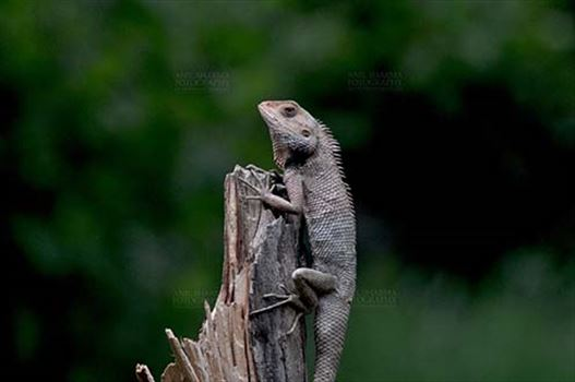 Reptiles- Oriental Garden Lizard - Noida, Uttar Pradesh, India- June 26, 2016: Oriental Garden Lizard, Eastern Garden Lizard or Changeable Lizard (Calotes versicolor) adult resting on a tree stump, Noida, Uttar Pradesh, India.
