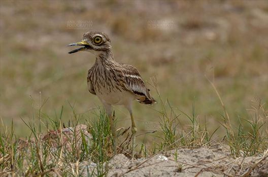 Birds- Eurasian Stone Curlew (Burhinus oedicnemus) - Eurasian stone curlew or stone-curlew (Burhinus oedicnemus) at Noida, Uttar Pradesh, India- June 18, 2017: A Female Eurasian stone in the dry grass field at Noida, Uttar Pradesh, India.