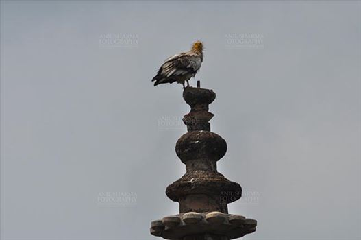 Monuments- Palaces and Temples of Orchha - Orchha, Madhya Pradesh, India- August 20, 2012: an Egyptian Vulture (Neophron Perchopterus) perches on the roof of the sandstone Jahangir Mahal (Palace) at Orchha, Madhya Pradesh, India.