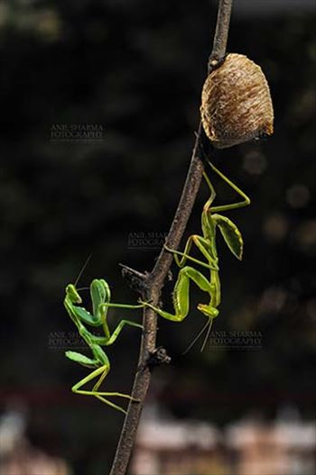 Insect- Praying Mantis - Two Praying Mantis, Mantodea (or mantises, mantes) with ootheca the protective capsule with the eggs on a tree branch at Noida, Uttar Pradesh, India.