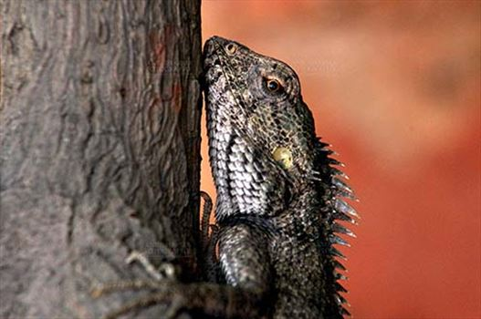 Reptiles- Oriental Garden Lizard - Noida, Uttar Pradesh, India- May 10, 2012: Close-up of an Oriental garden lizard with red eyes, climbing tree trunk in a garden at Noida, Uttar Pradesh, India.