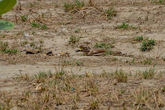 Birds- Eurasian Stone Curlew (Burhinus oedicnemus) - Eurasian stone curlew or stone-curlew (Burhinus oedicnemus) at Noida, Uttar Pradesh, India- June 18, 2017: A Female Eurasian stone hideing herself, sitting on the ground at Noida, Uttar Pradesh, India.