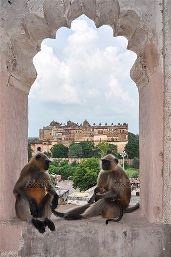 Monuments- Palaces and Temples of Orchha - Orchha, Madhya Pradesh, India- August 20, 2012: Grey Langurs family (Hanuman Monkeys,  Semonpithecus entellus) sitting inside Chaturbhuj Temple, Orchha, Madhya Pradesh, India.