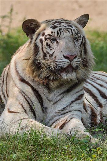 Wildlife- White Tiger (Panthera Tigris) - White Tiger, New Delhi, India- April 3, 2018: Portrait of a White Tiger (Panthera tigris) relaxing under a tree at New Delhi, India.