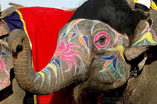 Festivals- Holi and Elephant Festival (Jaipur) - A decorated Elephant at Holi and Elephant Festival at jaipur, Rajasthan (India).