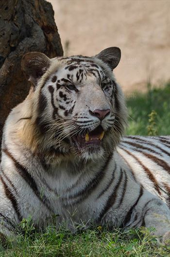 Wildlife- White Tiger (Panthera Tigris) by Anil