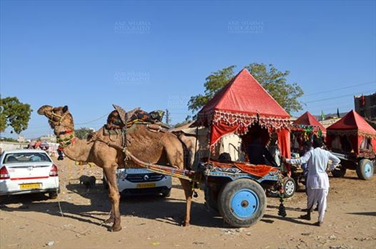 Fairs- Pushkar Fair (Rajasthan) - Pushkar, Rajasthan, India- January 16, 2018: Camel coach for tourists and devotees at Pushkar, Rajasthan, India.