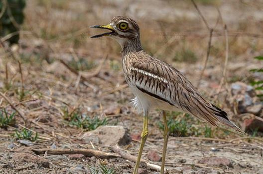 Birds- Eurasian Stone Curlew (Burhinus oedicnemus) - Eurasian stone curlew or stone-curlew (Burhinus oedicnemus) at Noida, Uttar Pradesh, India- June 18, 2017: A Female Eurasian stone standing in a field guarding her nest at Noida, Uttar Pradesh, India.