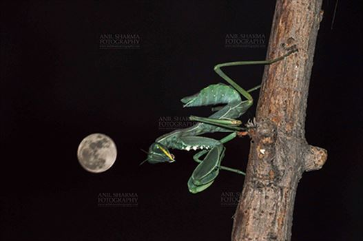 Insect- Praying Mantis - Side view of a Praying Mantis, Mantodea (or mantises, mantes) in resting position on full moon night in a garden at Noida, Uttar Pradesh, India.