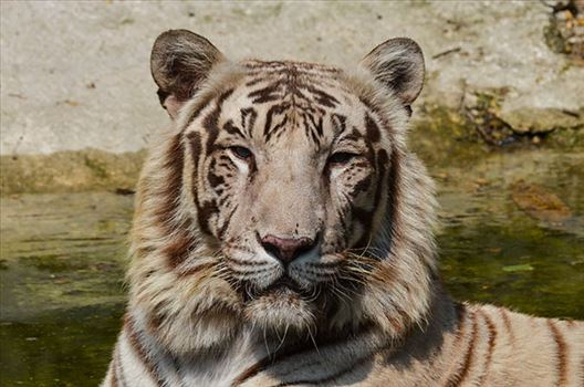 Wildlife- White Tiger (Panthera Tigris) - White Tiger, New Delhi, India- April 8, 2018: Portrait of a White Tiger (Panthera tigris) at New Delhi, India.