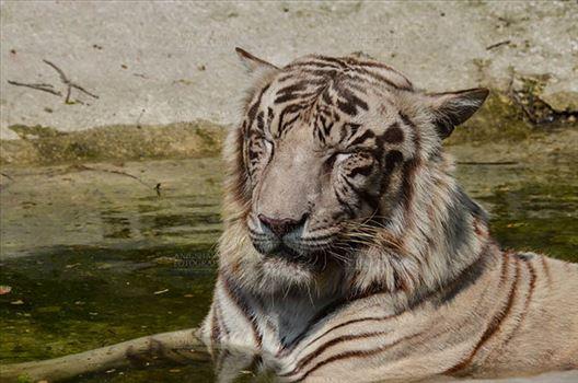 Wildlife- White Tiger (Panthera Tigris) - White Tiger, New Delhi, India- April 8, 2018: A White Tiger (Panthera tigris) sitting in a small water pool at New Delhi, India.