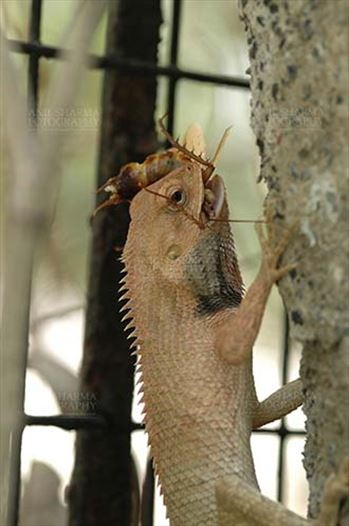 Reptiles- Oriental Garden Lizard - Noida, Uttar Pradesh, India- April 26, 2010: Oriental Garden Lizard, Eastern Garden Lizard or Changeable Lizard (Calotes versicolor) feeding on a cockroach, Noida, Uttar Pradesh, India.