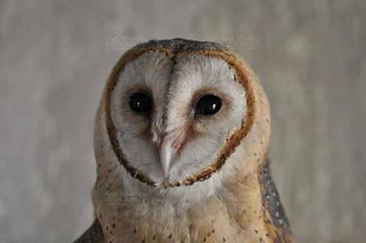 Birds- Barn Owl Tyto Alba (Scopoli) - Close-up of Barn Owl Tyto Alba (Scopoli) front view showing eyes and beak, Noida, Uttar Pradesh, India.