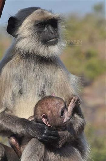 Wildlife- Gray or Common Indian Langur (India) - A suckling black footed baby Gray Langur (Semnopithecus hypoleucos) in Mom\u0027s arms at Bhopal, Madhya Pradesh, India.