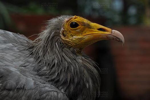 Birds- Egyptian Vulture (Neophron percnopterus) by Anil Sharma Fotography