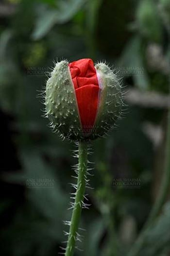 Flowers- Poppy Flowers (Papaver oideae) by Anil Sharma Fotography