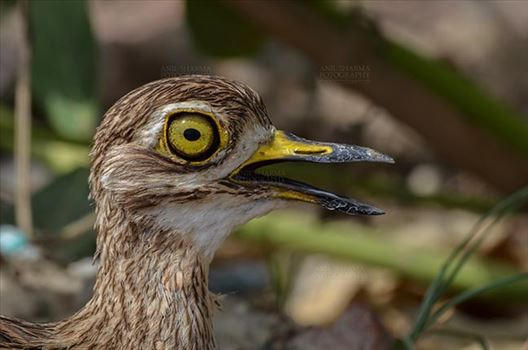 Birds- Eurasian Stone Curlew (Burhinus oedicnemus) - Eurasian stone curlew or stone-curlew (Burhinus oedicnemus) at Noida, Uttar Pradesh, India- June 18, 2017: Close-up of a Female Eurasian stone looking left side at Noida, Uttar Pradesh, India.
