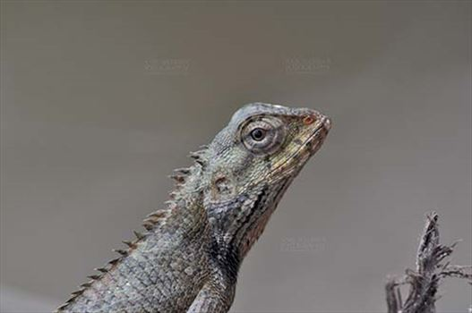 Reptiles- Oriental Garden Lizard - Noida, Uttar Pradesh, India- July 31, 2016: Close-up of an Oriental Garden Lizard, Eastern Garden Lizard or Changeable Lizard (Calotes versicolor) Noida, Uttar Pradesh, India.