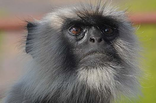 Wildlife-Grey or Common Indian Langur (India) - Close-up of a black footed Gray Langur's (Semnopithecus hypoleucos) at Bhopal, Madhya Pradesh, India.