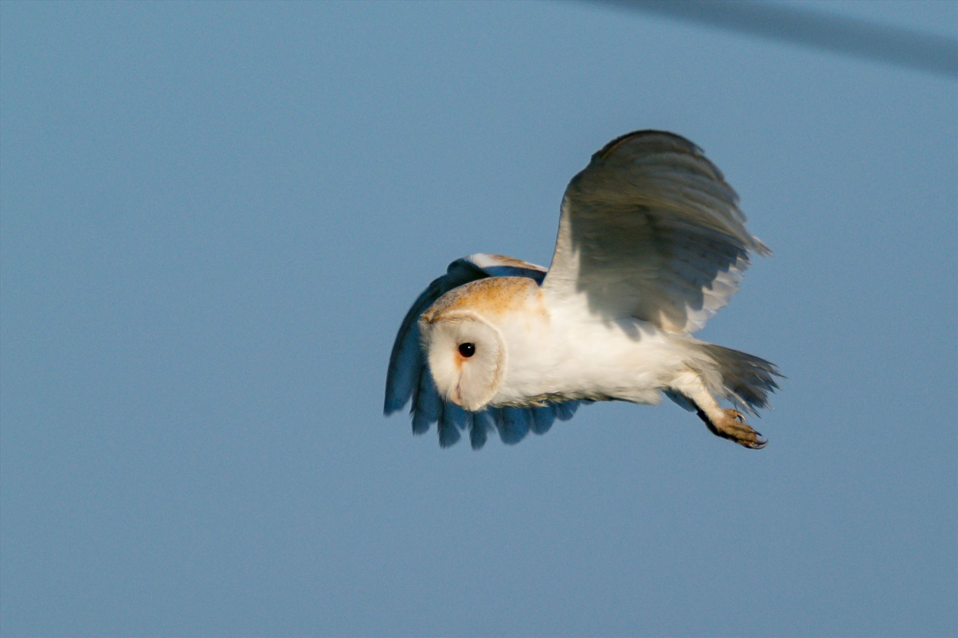Barn Owl on the hunt 06 A Barn Owl on the hunt for its breakfast by AJ Stoves Photography