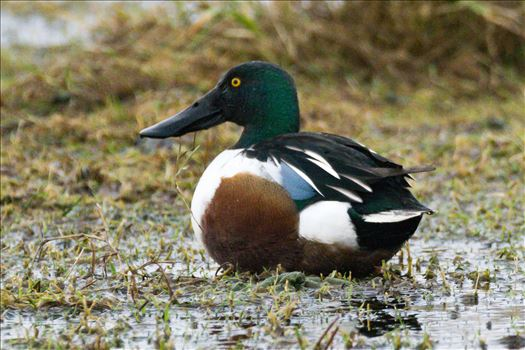 Shoveler taken at North Gare, Seaton by AJ Stoves Photography