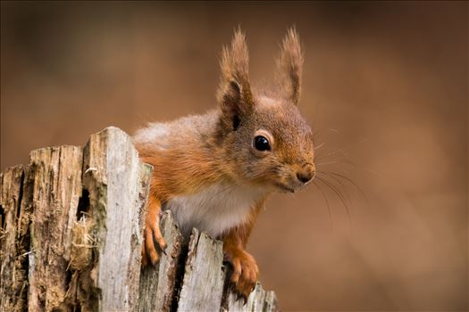 Red Squirrel Autumn Colours by AJ Stoves Photography