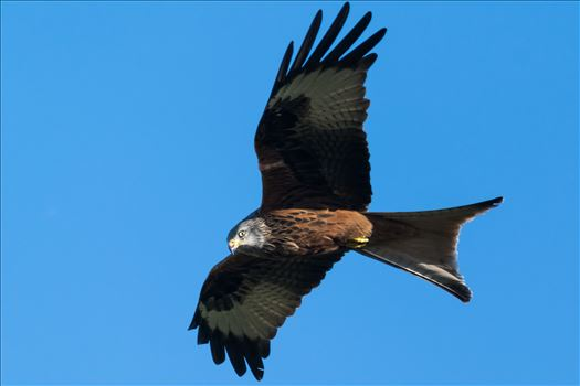 Red Kite Blue Sky's by AJ Stoves Photography