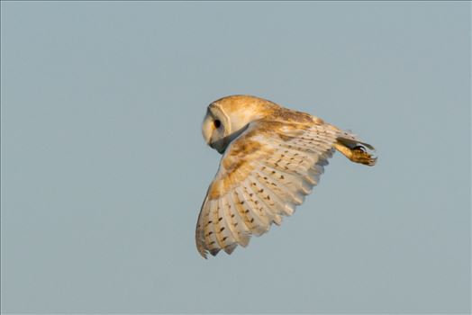 Barn Owl on the hunt 05 by AJ Stoves Photography