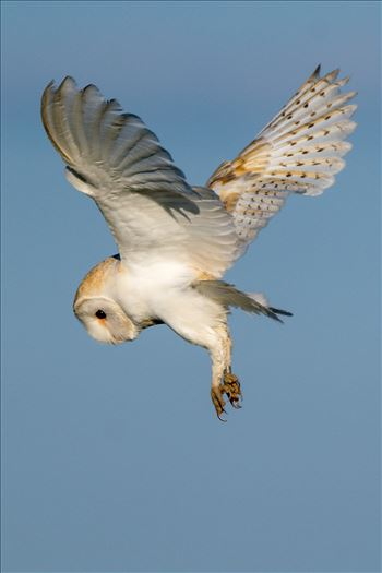 Barn Owl on the hunt 02 by AJ Stoves Photography