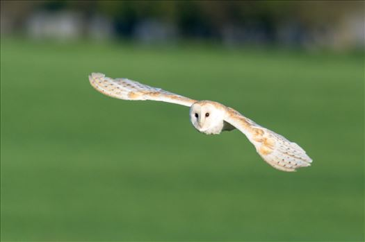 Barn Owl on the hunt 04 by AJ Stoves Photography