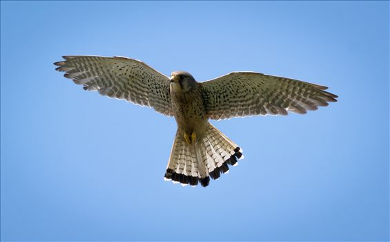 Kestrel hunting at RSPB Saltholme, by AJ Stoves Photography
