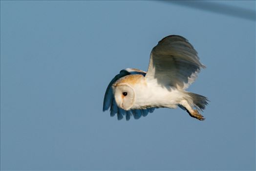 Barn Owl on the hunt 06 by AJ Stoves Photography